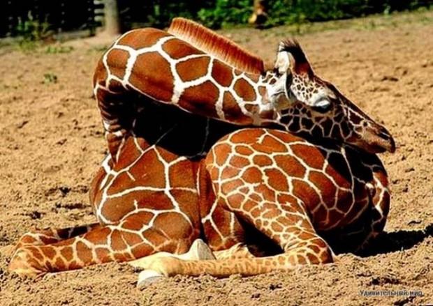 11 Ничек жираф йоклый?