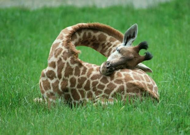 21 Ничек жираф йоклый?