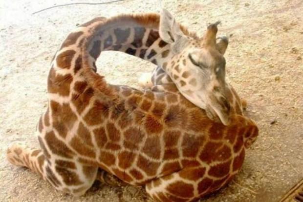 31 Ничек жираф йоклый?